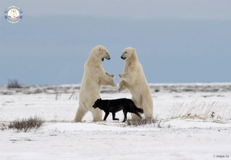 Black wolf referees polar bear sparring match at Nanuk. Jiangou Xie photo.