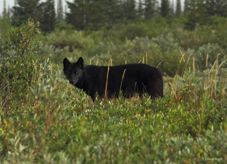Black wolf thinking...
