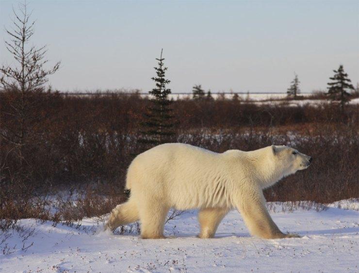 polarbear2DymondLakeEcoLodg