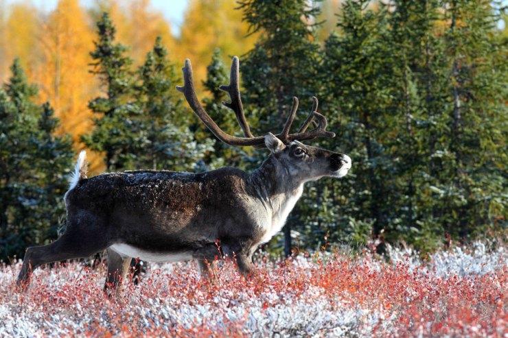 Caribou at Schmok Lake.