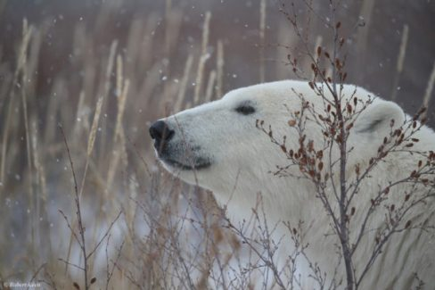 Peaceful polar bear at Dymond Lake Ecolodge.