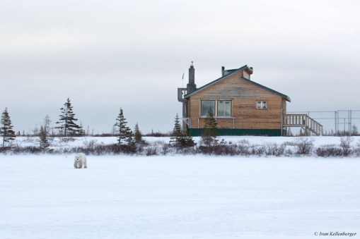 Polar bear walking in front of Dymond Lake Ecolodge.