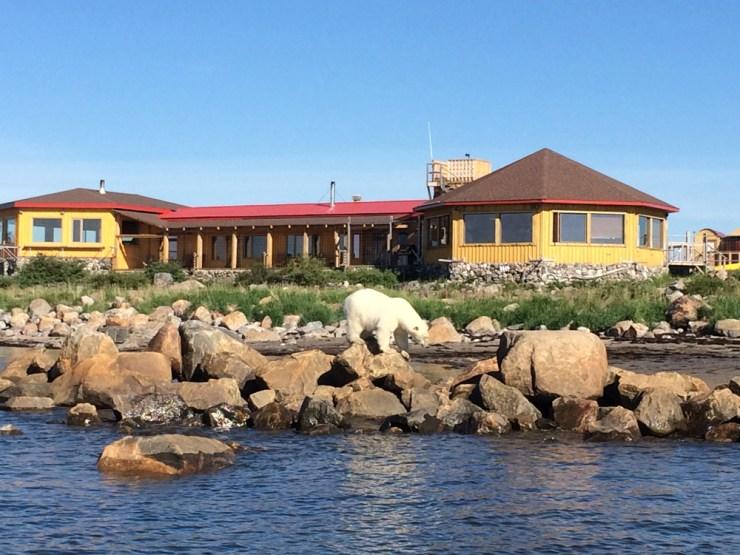 Polar bear exploring in the rocks at Seal River Heritage Lodge at low tide.