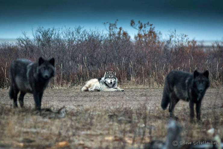 White and ghostly black wolves at Nanuk Polar Bear Lodge. Steve Schellenberg photo.