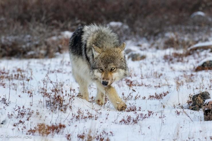 Lone wolf patrols fence at Seal River Heritage Lodge. Derek Kyostia photo.