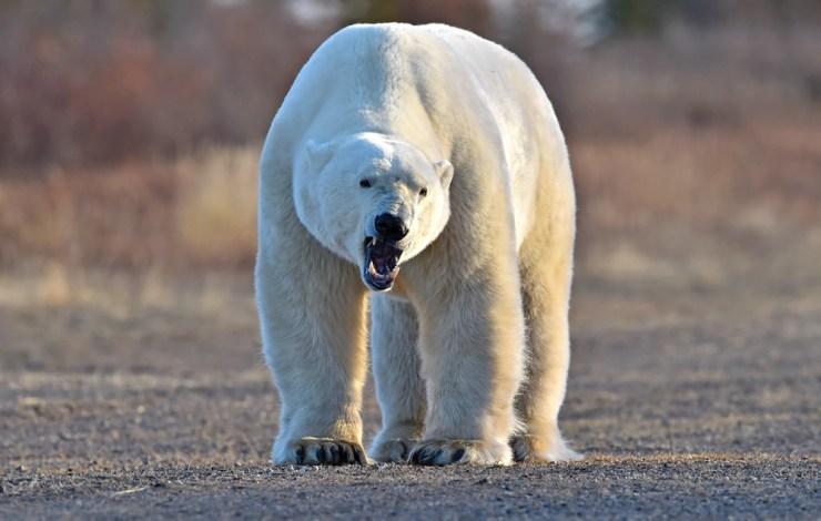 Polar bear growls his approval at Nanuk Polar Bear Lodge. Photo courtesy of Ian Johnson Safaris and Photography.