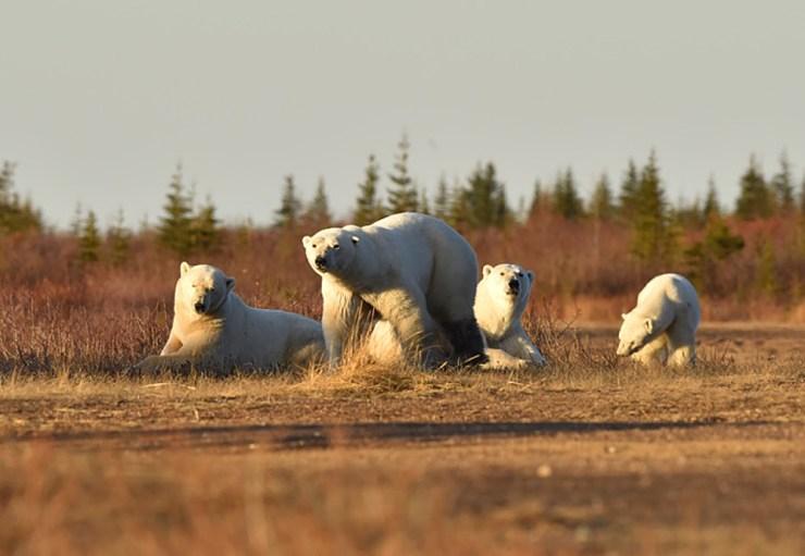 Polar bear family at Nanuk Polar Bear Lodge. Photo courtesy of Ian Johnson Safaris and Photography.