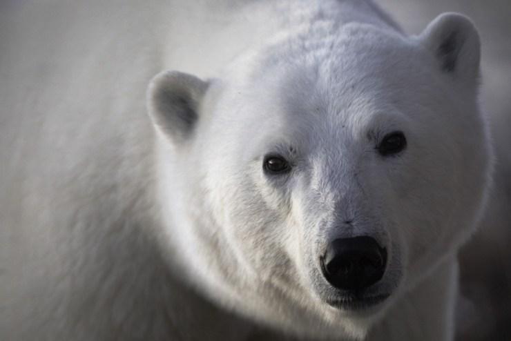 polarbearkindfacepostma