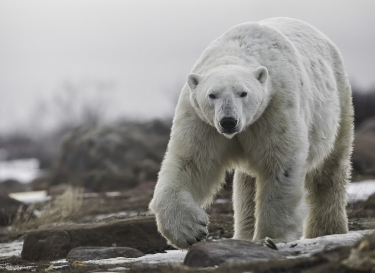 The Kings of the Arctic would soon be back. Robert Postma photo