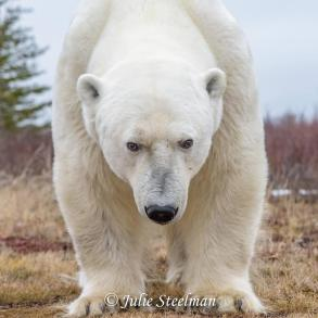 Big bear at Nanuk. Julie Steelman.