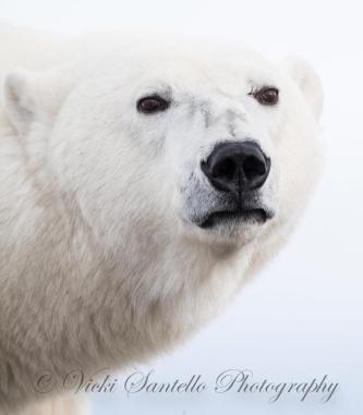 Arctic nobility. Vicki Santello.