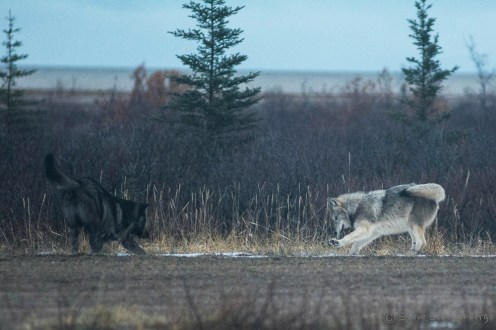 Playful wolves at Nanuk Polar Bear Lodge. Steve Schellenberg.