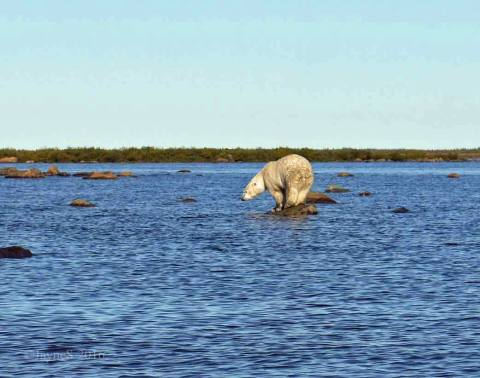 Hunting for belugas at Seal River. Jayne Shepherd.