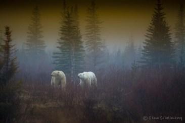 Polar bears in the mist at Nanuk. Steve Schellenberg.