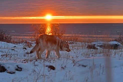 Sun sets on wolf at Seal River. Ian Johnson.