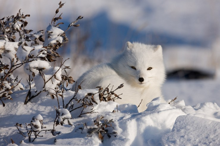 Arctic fox. Michael Poliza photo.