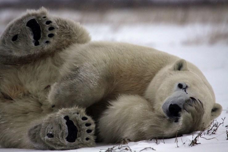 Scarbrow the polar bear at Dymond Lake Ecolodge.