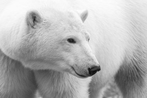 3rd Place. Polar Bears. Mike Schnierle.