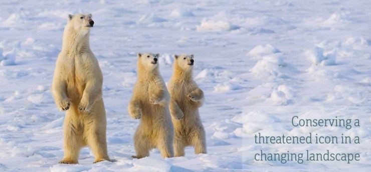 Manitoba polar bears. Click image to read full CPAWS report. Harry Pherson photo.