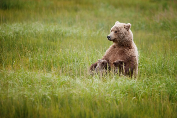 Nursing brown bears in Alaska. Ruth Elwell-Steck photo.