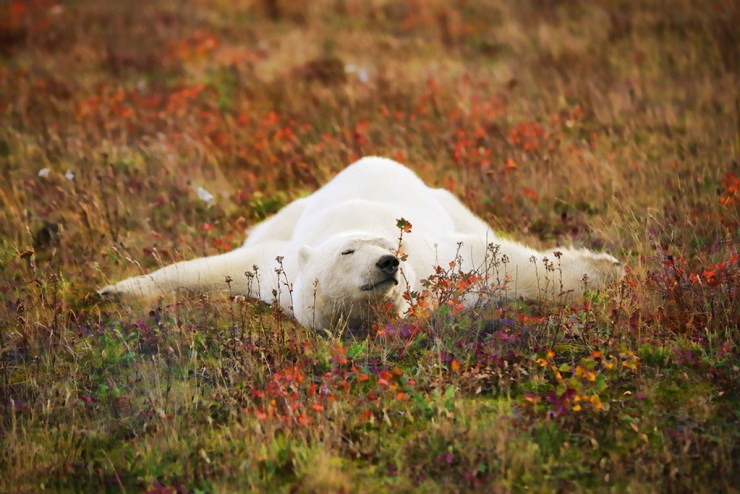 Polar bear relaxing in fall colours. Ruth Elwell-Steck photo.