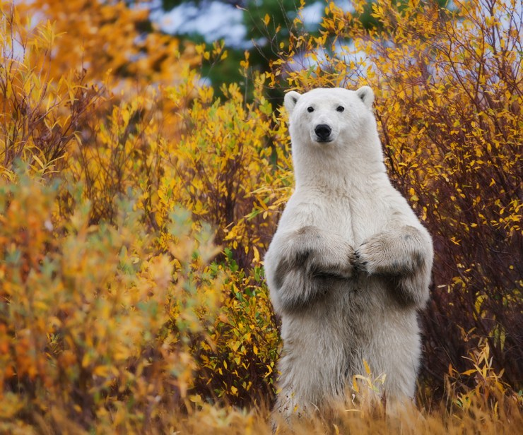 Having a polar bear stand up directly in front of you is definitely an experience you won't forget. Ruth Elwell-Steck photo taken at Nanuk Polar Bear Lodge.