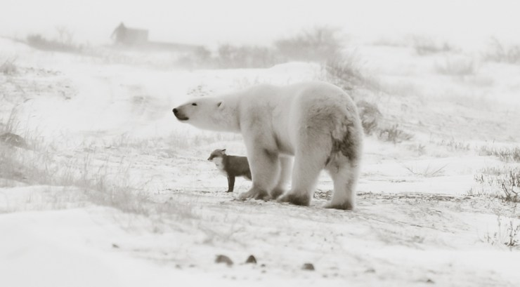 Polar bears and foxes. Yes. Polar bears and penguins. No. Birgit-Cathrin Duval photo.