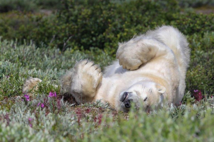 """It doesn't get any better than this,"" said the polar bear. Judith Herrdum photo."