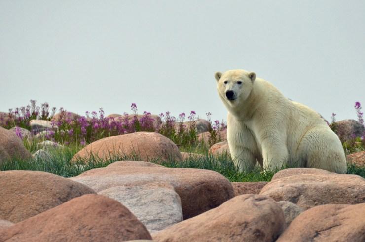 Polar bear poses in the rocks. Anne Kiel photo.