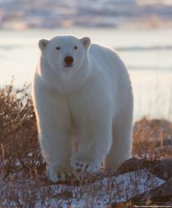 polarbearcloseupsealriver