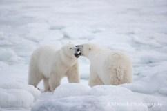 polarbearconversation