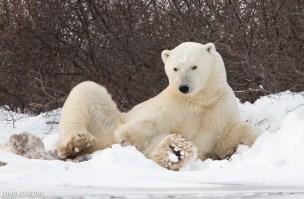 polarbearposingsealriver