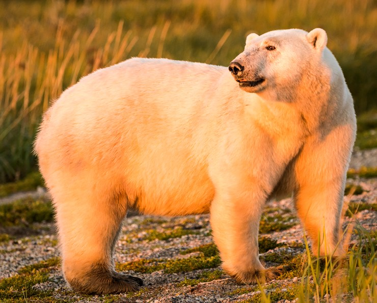 Polar bear in soft light. Ann Fulcher photo. Click image for more.