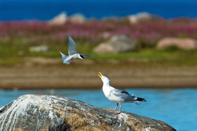 Arctic tern and gull conversing at Seal River.