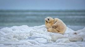 1st Place Polar Bears - Scott Dere