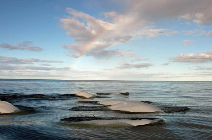 Beluga whales surfacing in Hudson Bay under a rainbow. Michael Poliza photo.