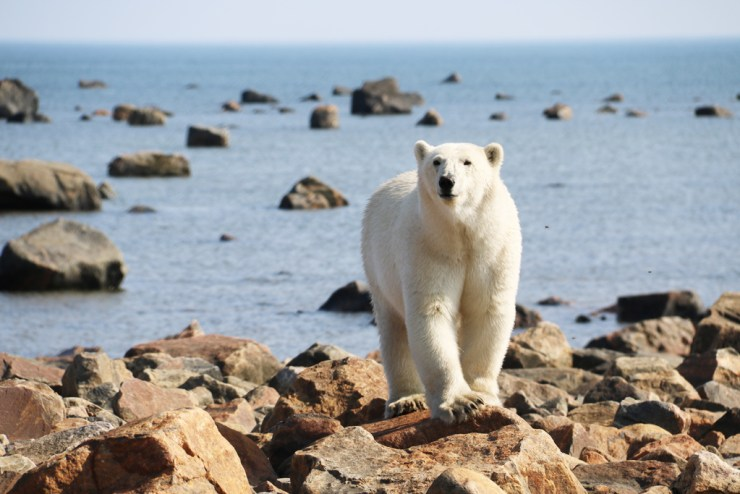 Beautiful young female polar bear on the rocks at Seal River. Photo by guest Laura Montross.