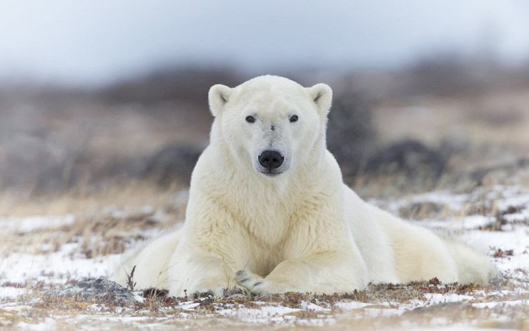 Polar bear perfect pose.