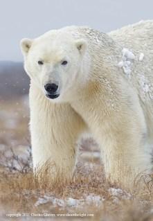 polarbear1sealriverglatzer