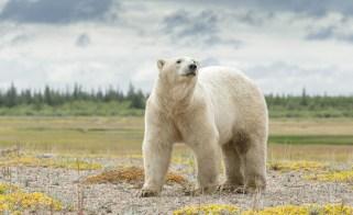 polarbearnanukpolarbearlodgeglatzer