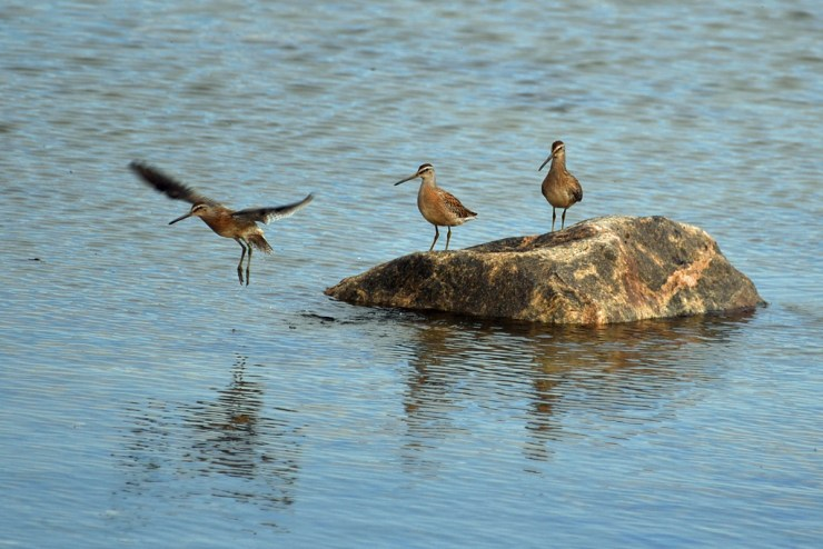 Hudsonian godwits on Hudson Bay near Seal River Heritage Lodge. Photo courtesy of guest Mishko Hansen.