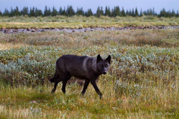 Wolf at Nanuk Polar Bear Lodge. Didrik Johnck photo.