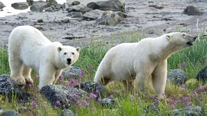 polarbearmomandcubsealriverheritagelodge