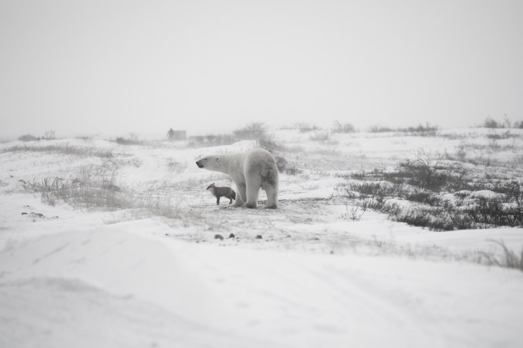 Polar bear and fox. Facing the storm together at Seal River Heritage Lodge.