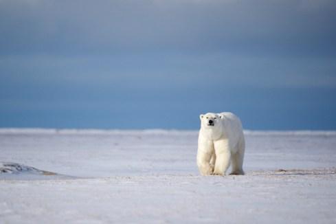 polarbearapproachsealriverandyskillen