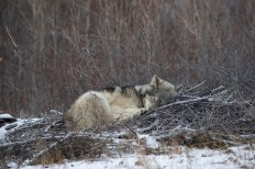 sleepingwolfnanukandyskillen