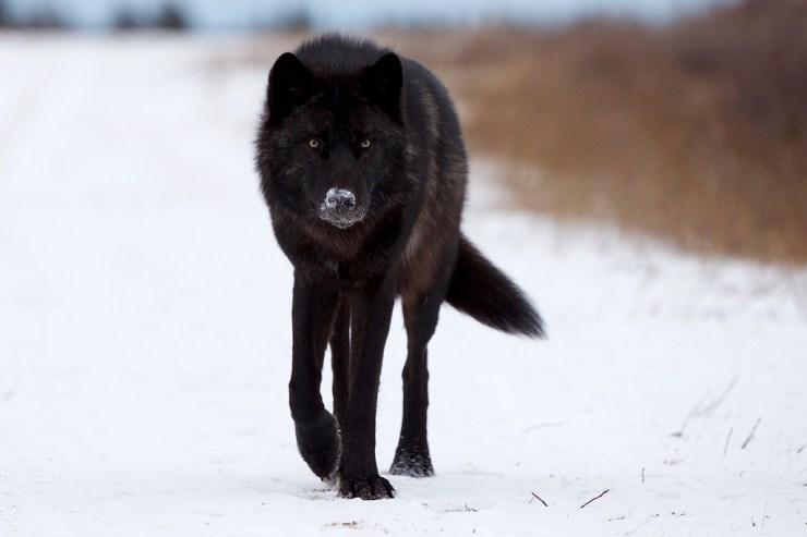 Lone wolf at Nanuk Polar Bear Lodge. Andy Skillen photo.