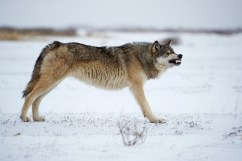 wolfsnarlnanukandyskillen