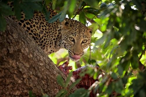 zambialeopardandyskillen