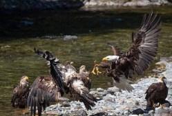 Eagle fight.